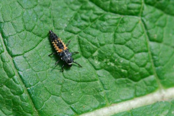 lady-beetle-larva1