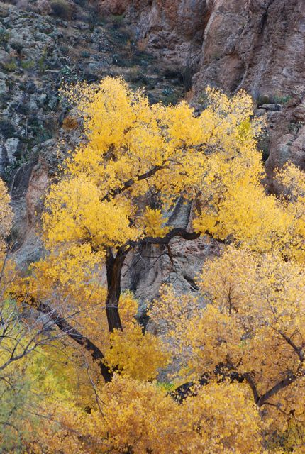 cottonwood-fall-color