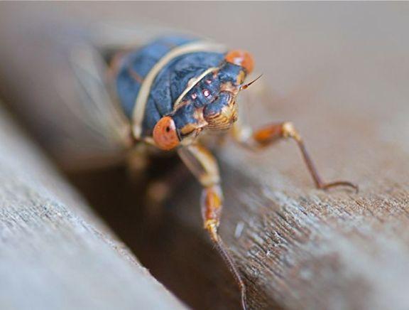 cicada-close
