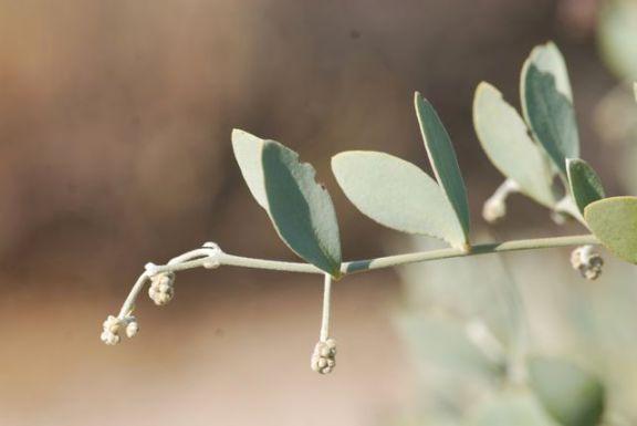 jojoba-leaves-better