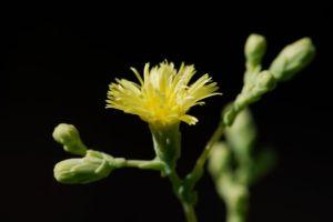 lettuce-flower