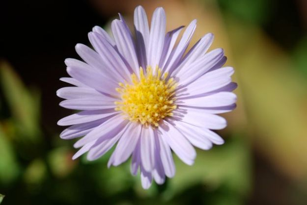 aster-flower-close-ours