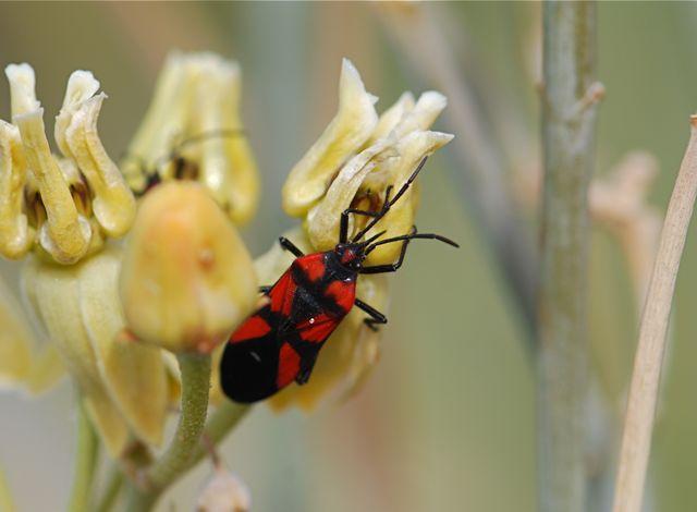 cayensis-bug-1