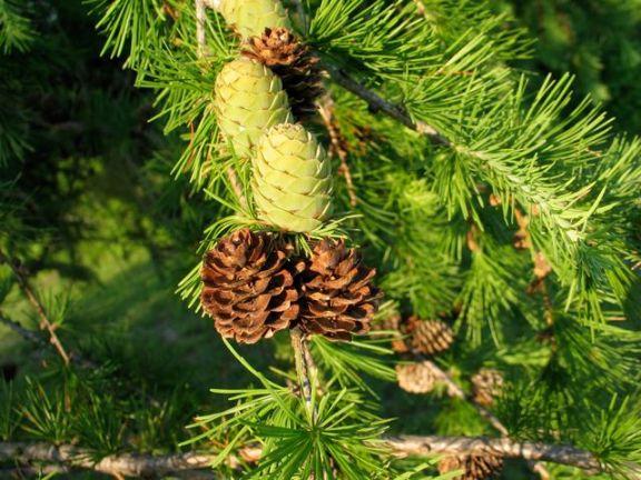 tamarack-larch-cones