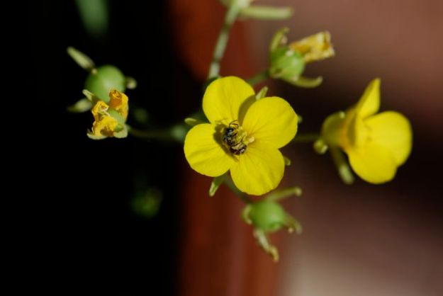 lesquerella-bee-flower