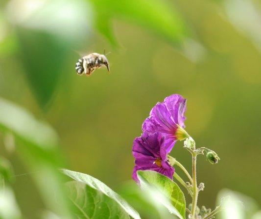buzz-pollination-for-wild