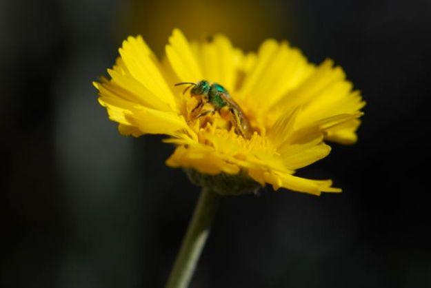 halictid-in-desert-marigold