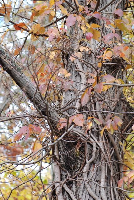 poison-ivy-vine-on-tree-2