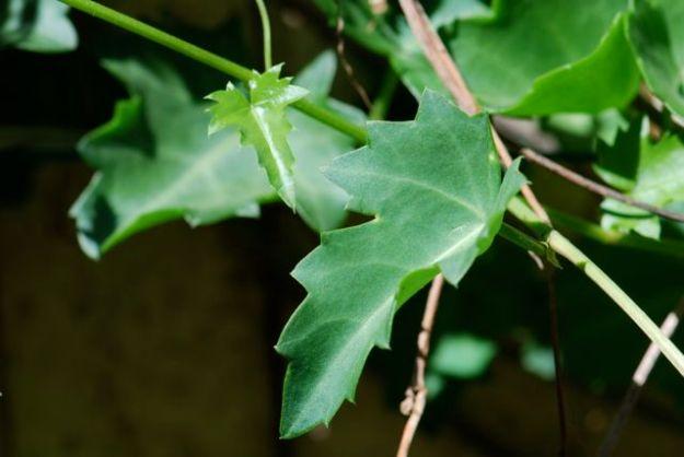 cissus-Az-grape-ivy-2