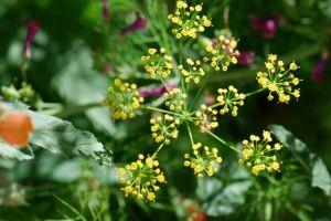 dill-flower-101