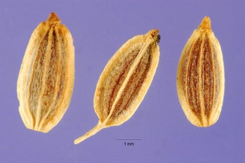 dill-seeds-usda