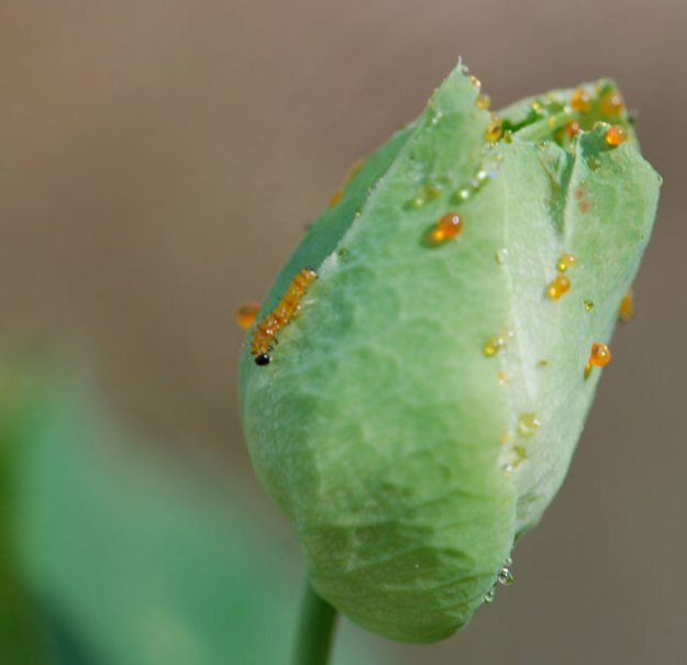 gulf-fritillary-tiny-larva-ps