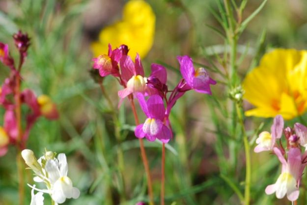 toadflax-101