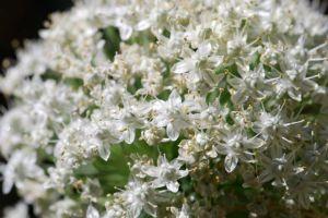 onion-flowers