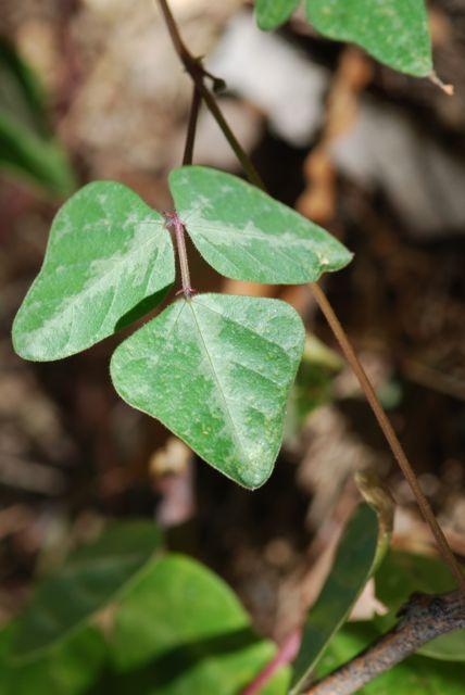 phaseolus-leaves-101