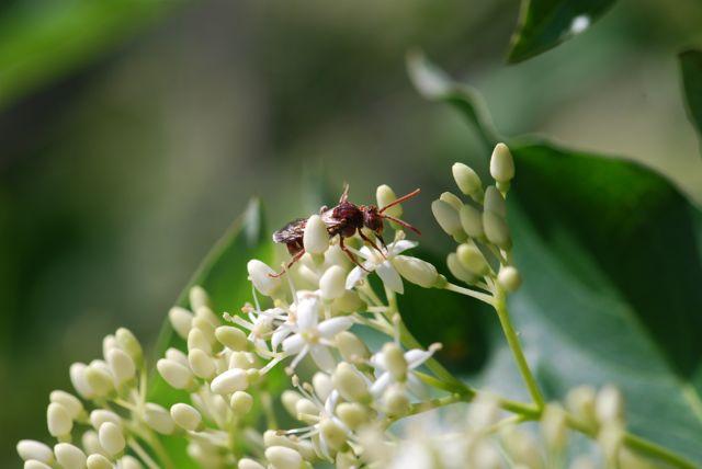 pollinator-wasp