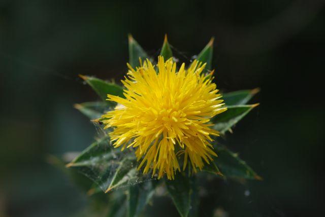 safflower-flower-1