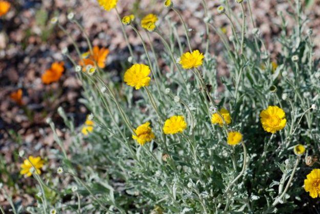 desert-marigold-plant