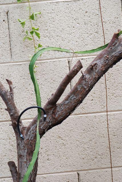 dragonfruit-climbing