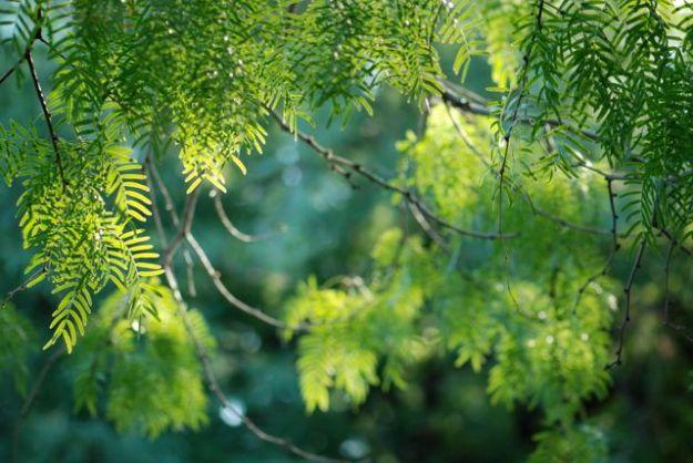 honey-mesquite-branches