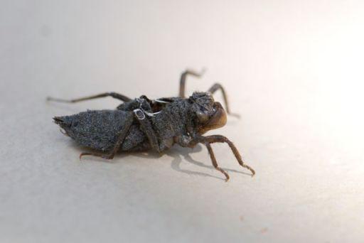 dragonfly-nymph-exoskeleton