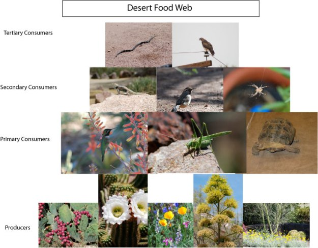 desert-food-web