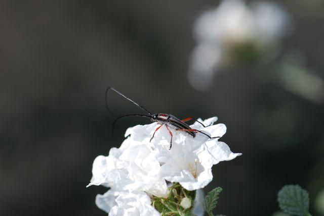 good-long-horned-beetle