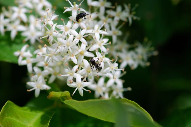 gray-dogwood-insects-flowers-2