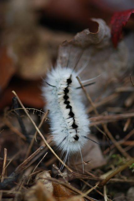 hickory-tussock-caterpillar