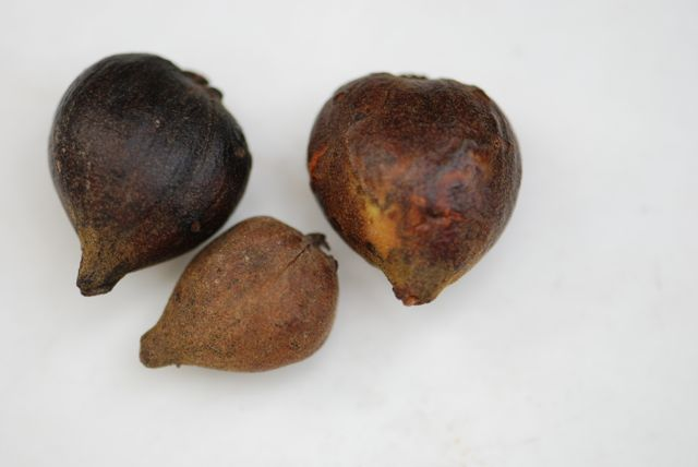 pignut-hickory-fruitJPG