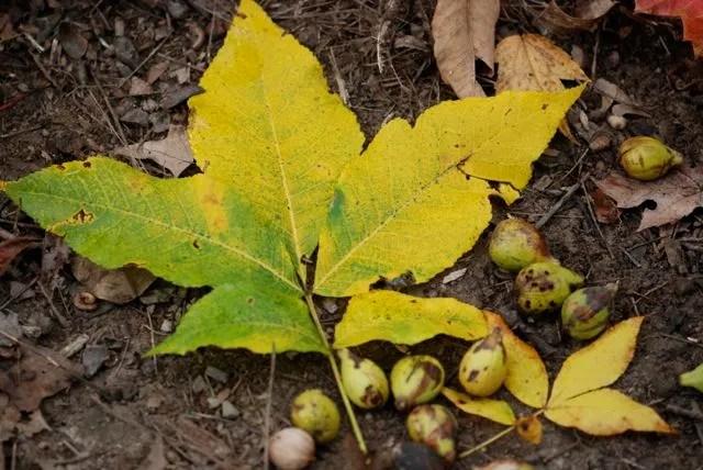 pignut-hickory-leaf