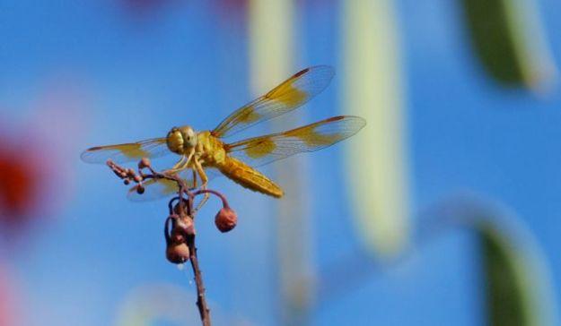dragonfly-on-redbird