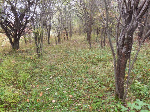 buckthorn-trees