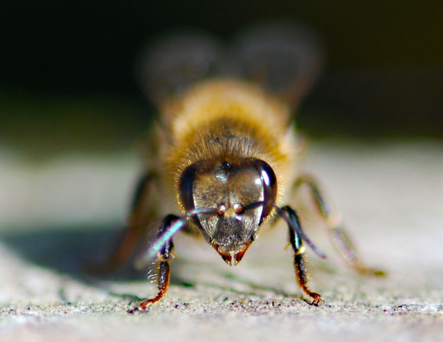 honey-bee-face-on-ps