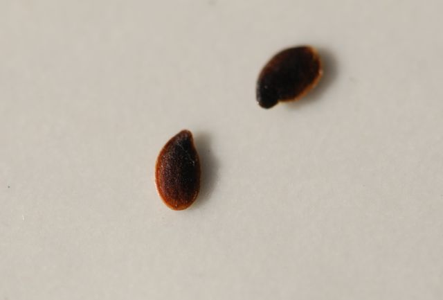mystery-seed-185-close