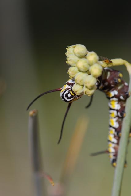 stripy-face-caterpillar