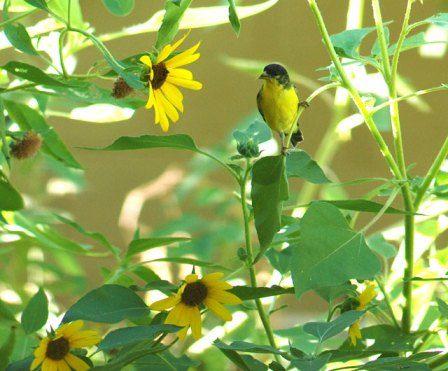 goldfinch-for-gbbc
