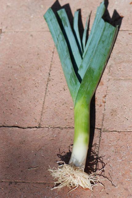 leek-plant