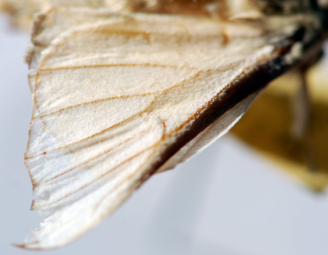 mystery-insect-wing-300