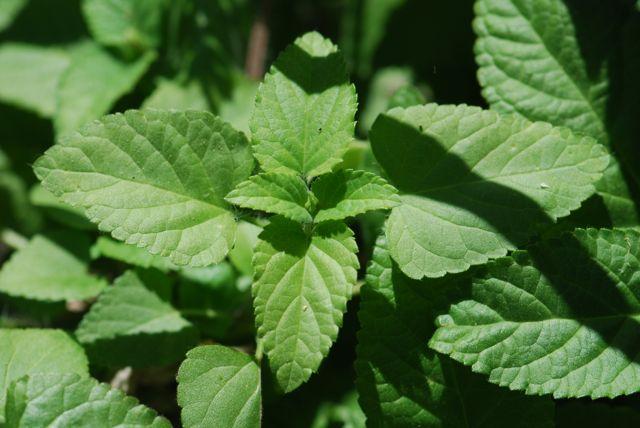 scarlet-salvia-leaves
