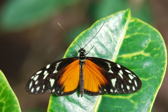 Heliconius-hecale-tiger-longwing-111