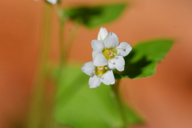 adorable-buckwheat-flowers-162