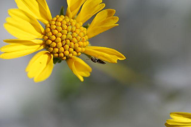 brittle-bush-clear-parasitic-wasp
