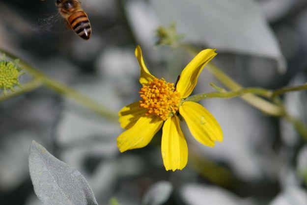 brittle-bush-honey-bee-4