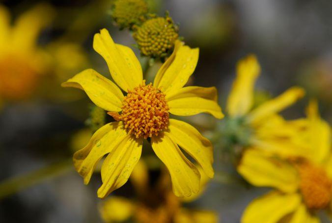 brittlebush-flower-2