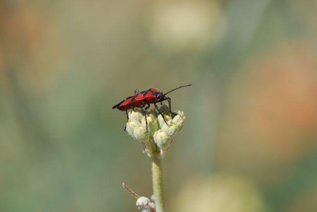 milkweed-bug-adult