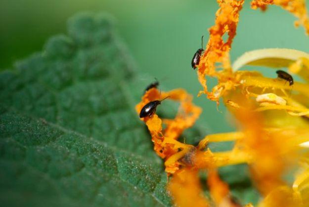 flea-beetle-okay