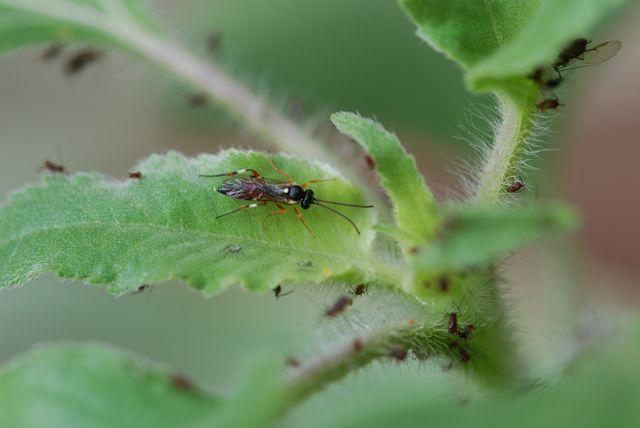 parasitoid-wasp-closer