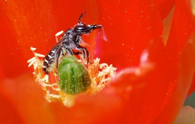 bee-in-cactus-flower-close