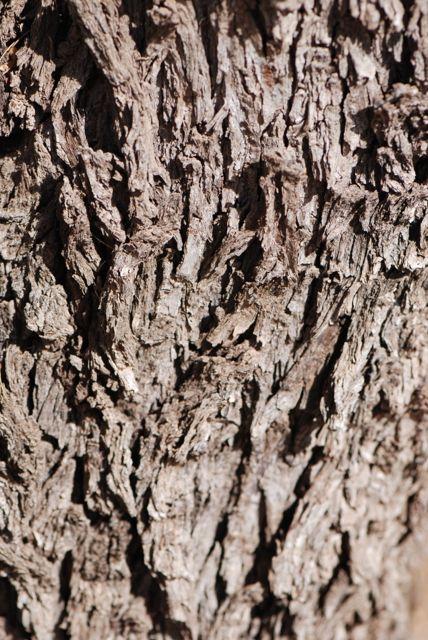 Texas-ebony-bark